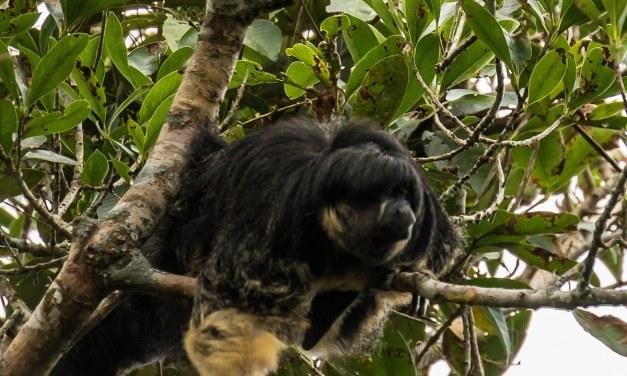 Amazonie: Un singe doté d'une remarquable coupe au bol repéré pour la première fois en 80 ans