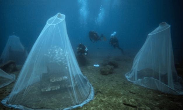 Des nurseries sous l'eau pour « repeupler la mer »
