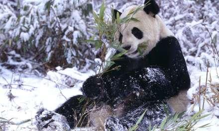 quand un panda s'éclate dans la neige!