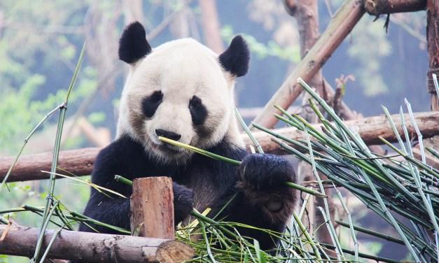 La Chine va créer un parc géant pour ses pandas