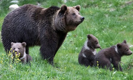 Nicolas Hulot veut réintroduire deux nouveaux ours dans les Pyrénées