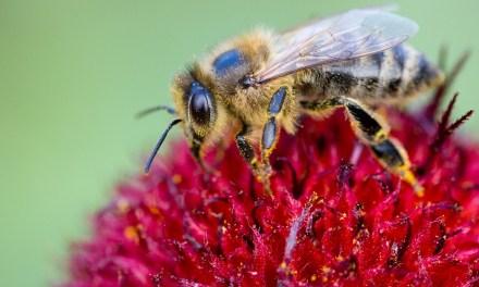 L'UE bannit les néonicotinoïdes pour sauver les abeilles