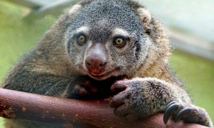 Pologne : Première naissance en captivité d'un couscous, marsupial indonésien