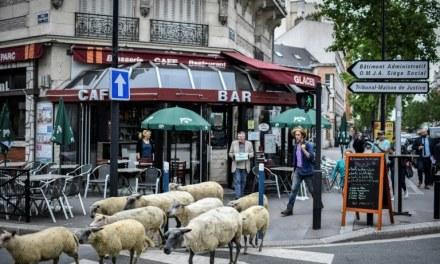 France – Des brebis au pied des cités: en Seine-Saint-Denis, des bergers réhabilitent l'élevage urbain
