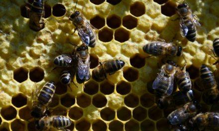 En Lozère, des pratiques ancestrales pour préserver l'abeille noire