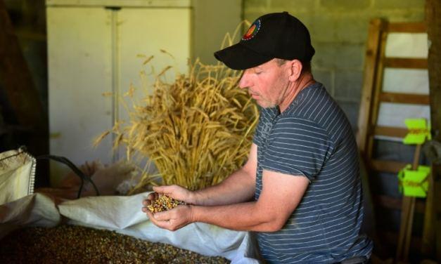 En Dordogne, le « maïs paysan » pour sauvegarder la biodiversité