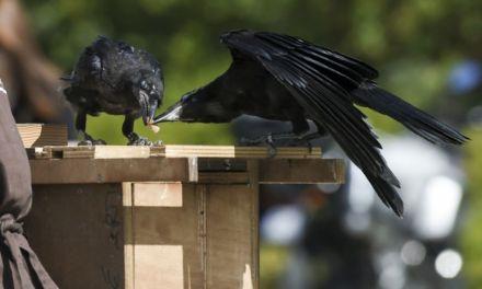 France – Parc Puy du fou : des corbeaux ramasseurs de mégots entrent en action