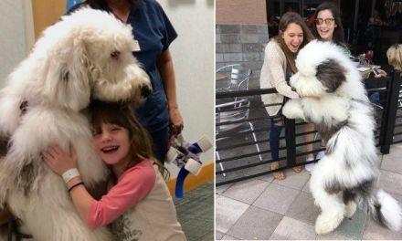 Quand Zammy, le super sheepadoodle vient donner de l'amour dans un hôpital.