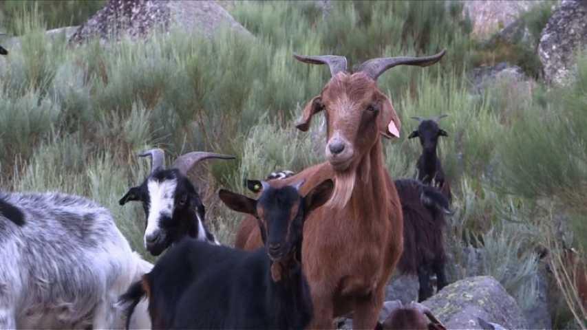 Contre les incendies, les chèvres « sapeurs » au secours des forêts portugaises