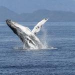 Hausse des populations de baleines et gorilles des montagnes selon l'Union mondiale pour la nature