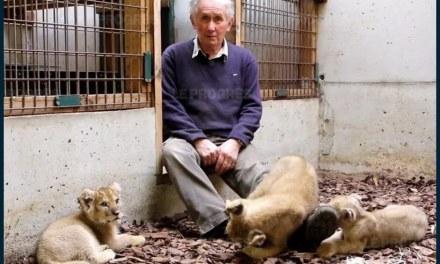 Zoo de Saint-Martin-la-Plaine: les lionceaux recueillis à Paris et Marseille réunis grâce à l'association Tonga
