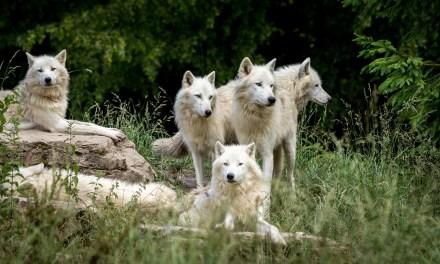 Voici à quoi ressemble une famille de loups qui communiquent. Magique