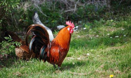 Une poule fait la morte pour éviter de se taper le coq!