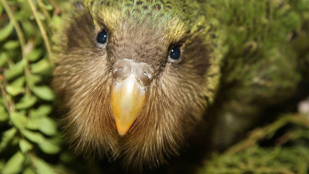 Et si la hausse des températures avait permis de sauver une espèce de perroquet menacée d'extinction en Nouvelle-Zélande ?
