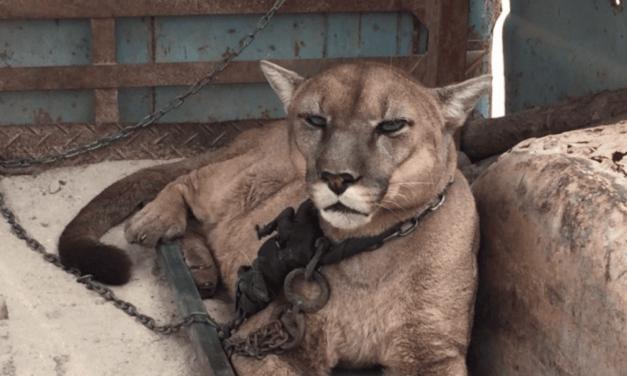 Un puma vivait enchaîné depuis 20 ans dans un cirque… Voici ses premiers pas dans la forêt grâce à l'association ADI