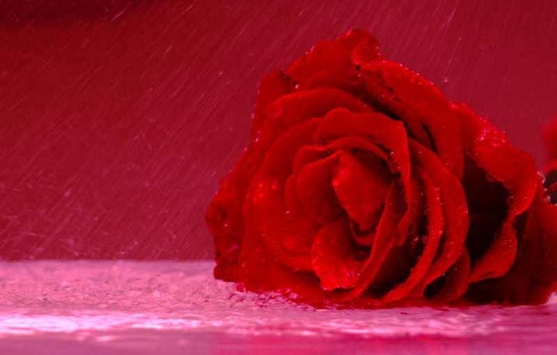 La rosa tierna de la compañía