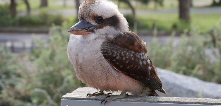 Australische vogel kookaburrah in een nationaal park aan de oostkust in Australië