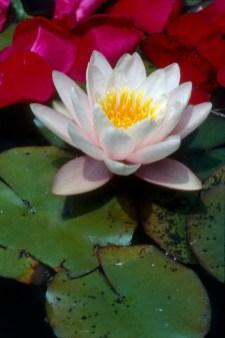 lily_pads_rose_petals_4.wrk