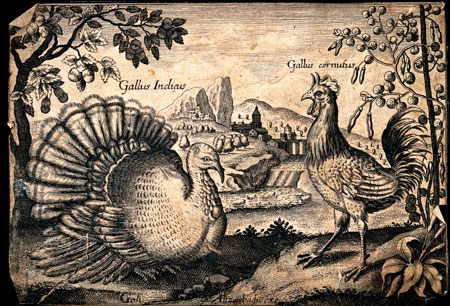 Turkey engraving by Audubon. Courtesy of Vintage Printable