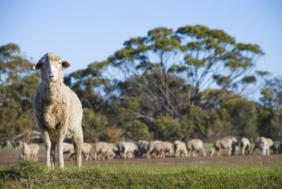 A sheep standing apart from the herd