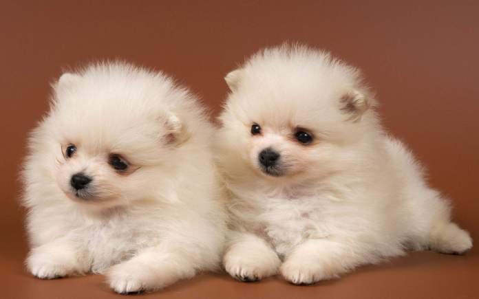 博美犬 [ Bóměi quǎn โป๋เหม่ยเฉวี่ยน ] ปอมเมอเรเนียน Pomeranian