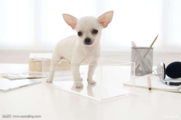 吉娃娃 [ Jíwáwá จี๋หวาว่า ] ชิวาว่า Chihuahua