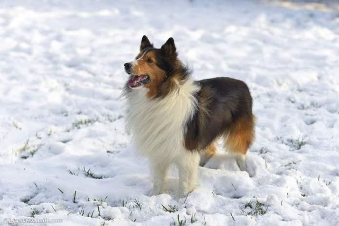 喜乐蒂牧羊犬 [ xǐlè dì mùyáng quǎn สี่เลอร์ตี้มู่หยางเฉวี่ยน ] เชทแลนด์ ชีพด็อก Shetland sheepdog