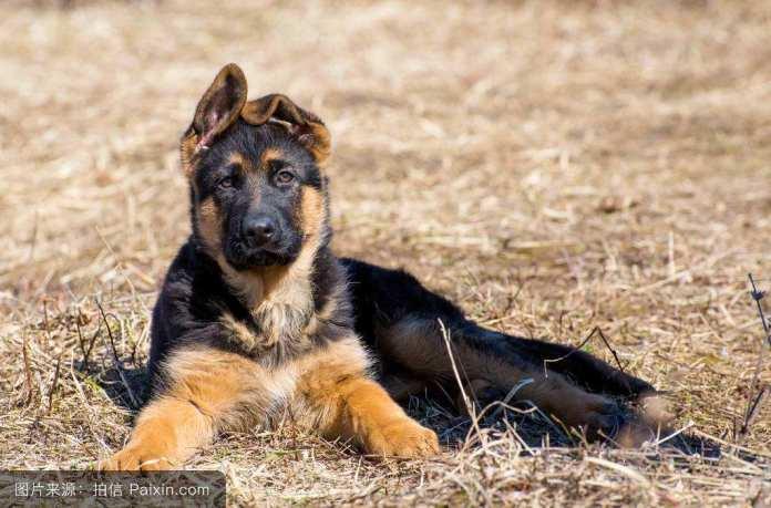 德国牧羊犬 [ Déguó mùyáng quǎn เต๋อกว๋อมู่หยางเฉวี่ยน ] เยอรมันเชเพิร์ด German Shepherd