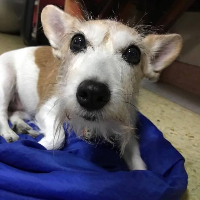 杰克罗素梗[ jiékè luó sù gěng เจี๋ยเค่อหลัวสู้เกิ่ง ]แจ็ครัสเซลล์เทอร์เรีย Jack Russell Terrier