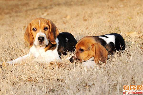 猎兔犬 [ Liè tù quǎn เลี่ยทู่เฉวี่ยน ] บีเกิล Beagle