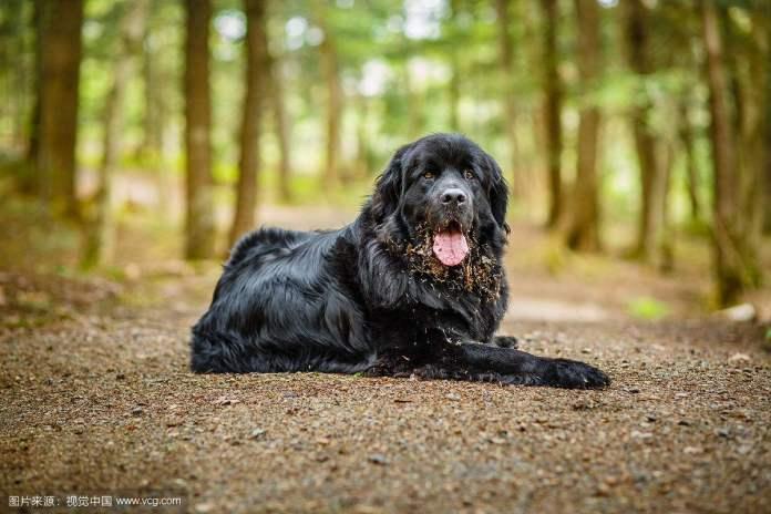 纽芬兰犬 [ Niǔ fēnlán quǎn หนิ่วเฟินหลานเฉวี่ยน ] นิวฟาวด์แลนด์ Newfoundland