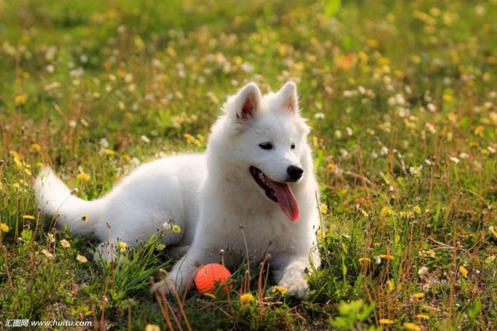 萨摩耶犬 [ Sàmó yé quǎn ซ่าโม๋เย่เฉวี่ยน ] ซามอยด์ Samoyed