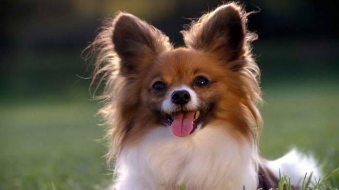 蝴蝶犬 [ Húdié quǎn หูเตี๋ยเฉวี่ยน ] ปาปิยอง Papillon Dog