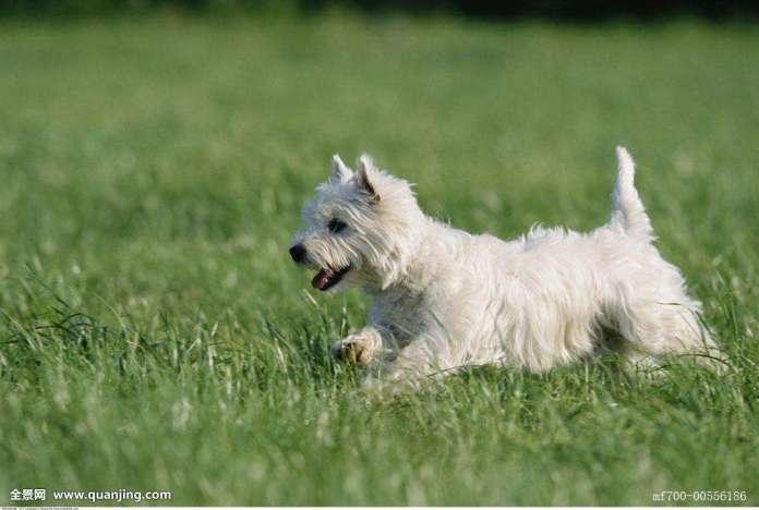 西高地白梗 [ Xī gāodì bái gěng ซีเกาตี้ป๋ายเกิ่ง ] เวสตี้ เทอร์เรียร์ West Highland White Terrier
