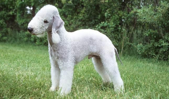贝灵顿梗 [ bèi líng dùn gěng เป้ยหลิงตุ้นเกิ่ง ] เบดลิงตัน เทอร์เรียร์ Bedlington Terrier