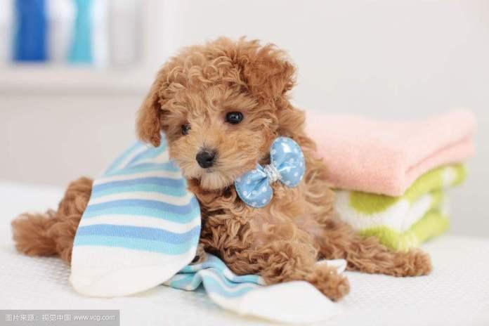 贵宾犬 [ Guìbīn quǎn กุ้ยบินเฉวียน ] พุดเดิ้ล Pudel