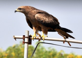 Pariah/ Black Kite