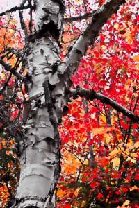 white paper birch on a backdrop of fall's neon red autumn foliage