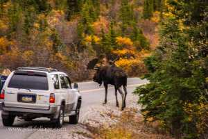 a bull moose who is larger than the cars around him crosses the road during the autumn mating season