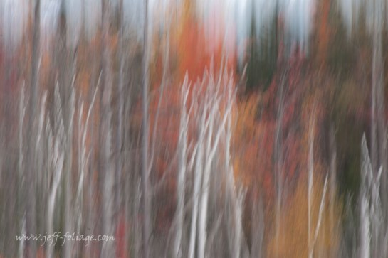 intentional camera movement with birches on fall foliage