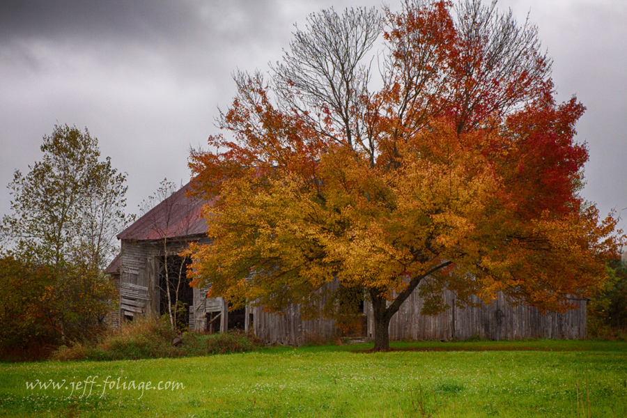 a multi-colored maple in front of an old grey barn