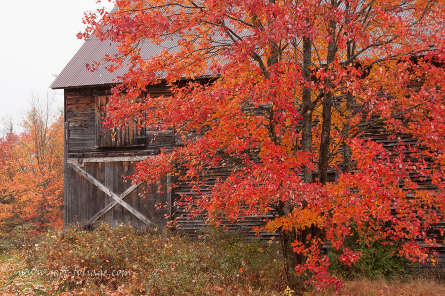 A vermont barn gives a back drop to a tall red maple.
