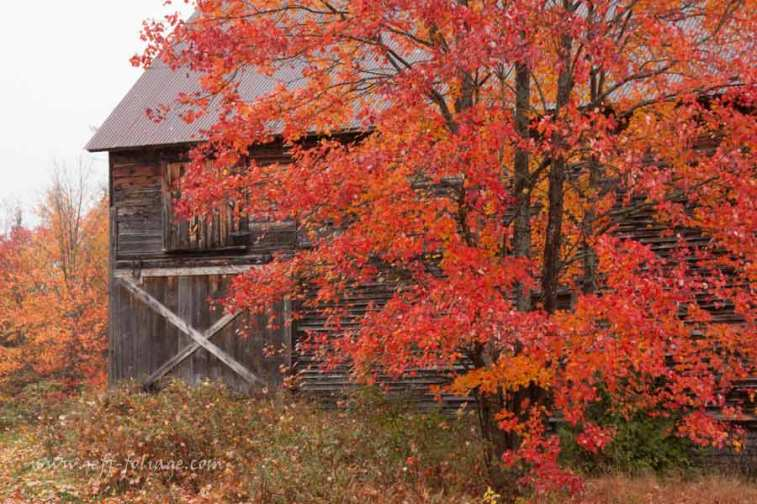 Fiery red maple in front of old barn