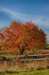 Red maple tree in autumn with new england fall foliage