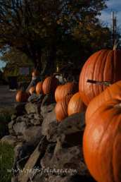 A rhode island rock wall with pumpkins
