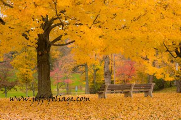 Golden maple tree showing off it's Massachusetts fall colors