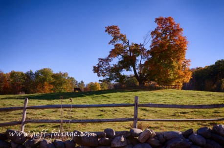 Cow and colorful fall foliage on an old maple tree on hill-Folger
