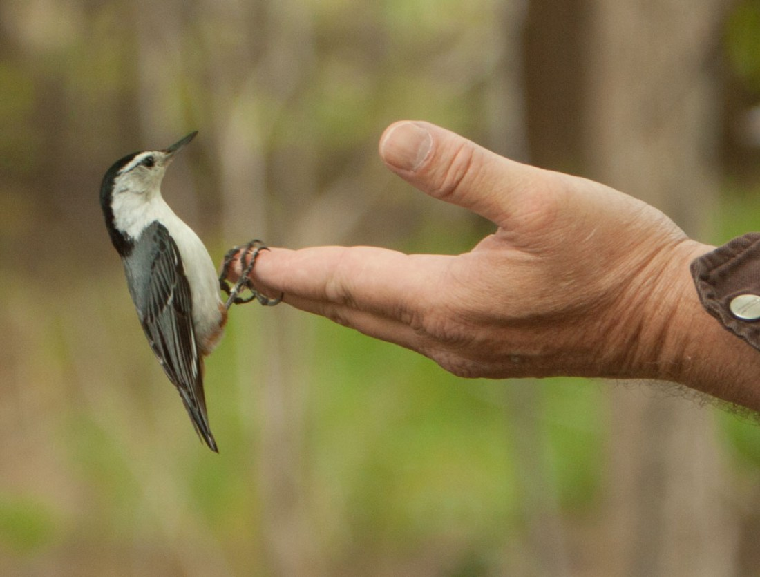 Black capped chickadee on fingers