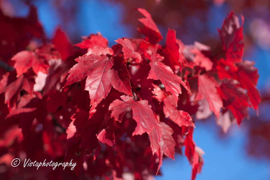 New England Photography of red maple leaves