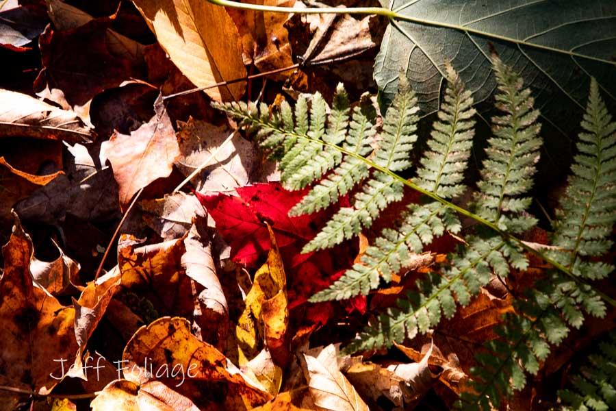 Single red leaf amid fallen leaves, Jeff loves leaves